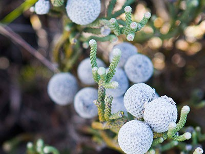 Is wild fynbos harvesting viable without Silver Brunia?