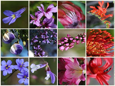 Hope, passion or wisdom? What Fynbos colours symbolise…
