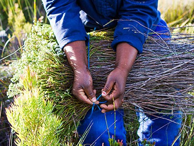 Picking Fynbos responsibly: A journey of improvement